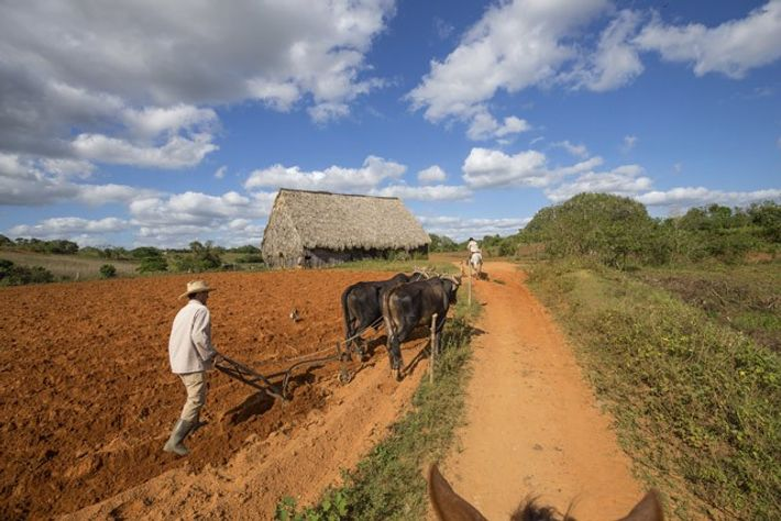 Riding in the Viñales Valley, along rust-red paths and past fields of taro, yuca and corn, ...