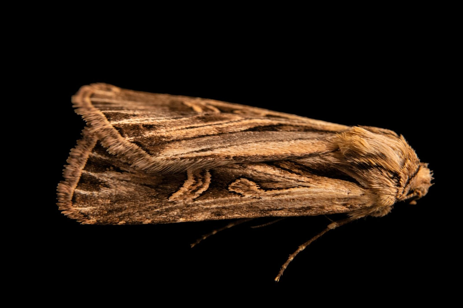Joel Sartore captured the long-toothed dart moth in September 2020 near Santa Fe, New Mexico.