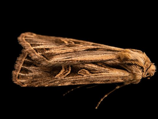 More than 130 years after its discovery, this moth was finally photographed alive