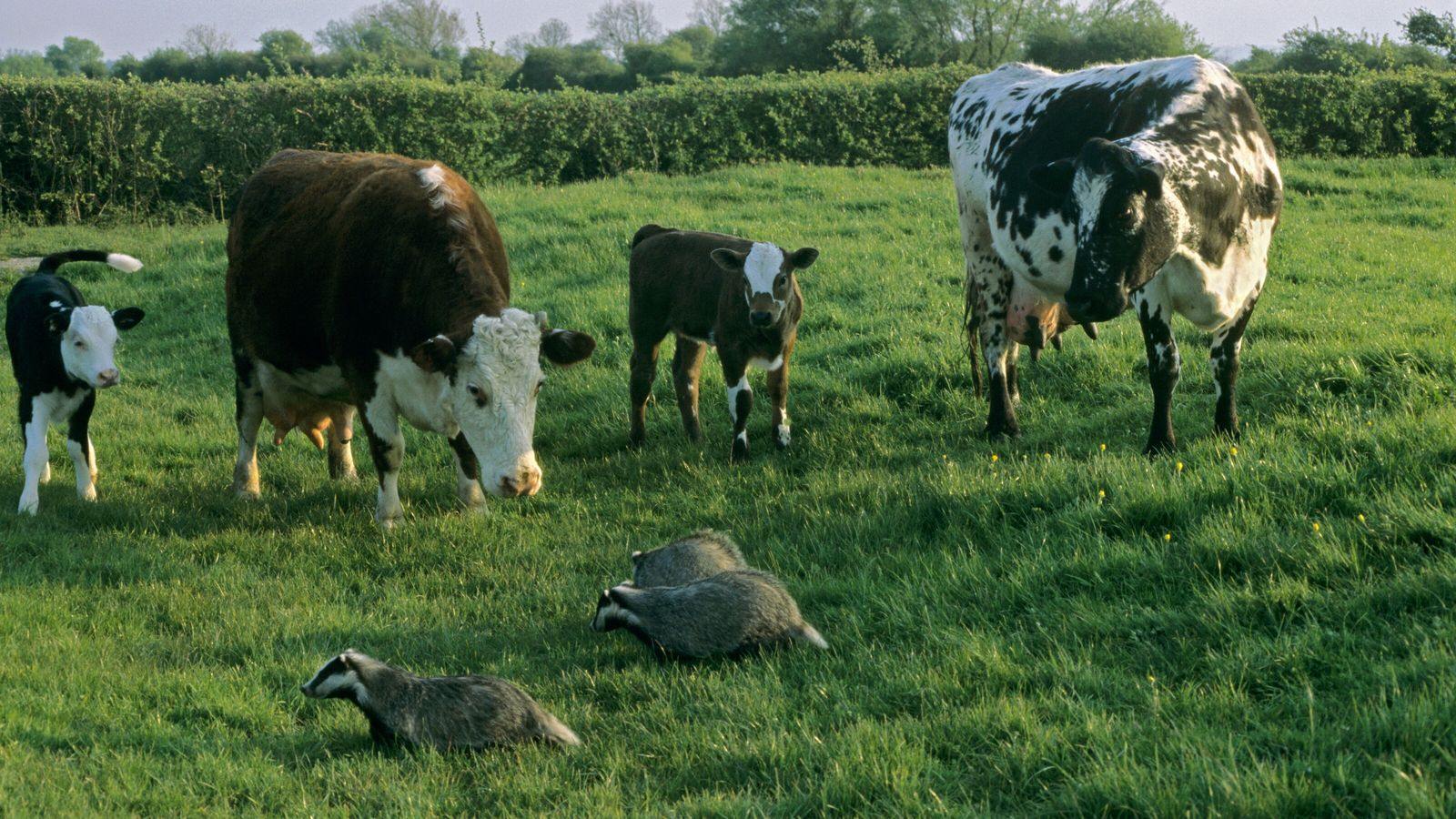 A group of badgers piques the interest of a group of cows in a field in ...