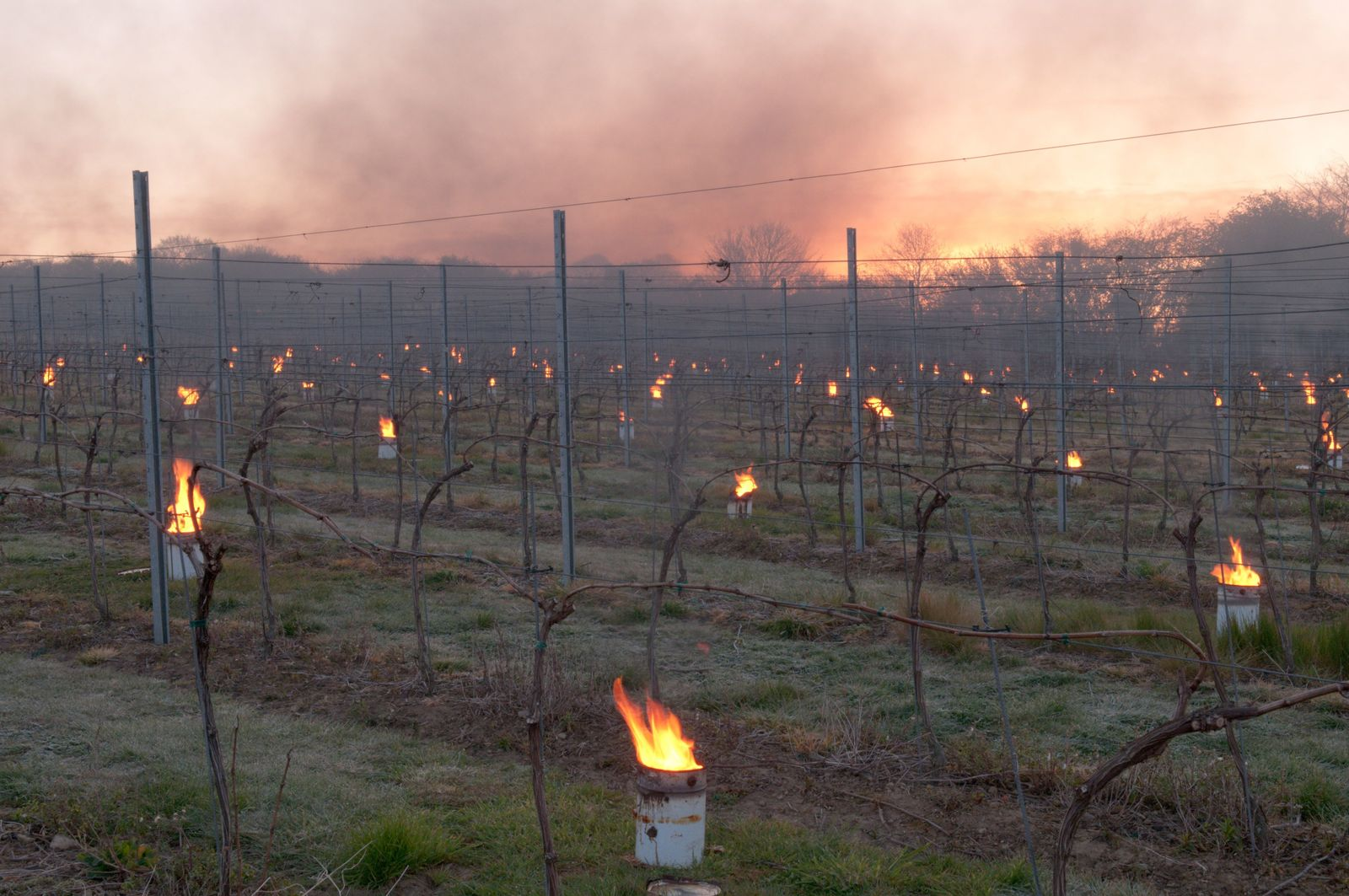 'Bougies' – paraffin burners – blaze in a vineyard in West Sussex to protect grapes from the cold. ...