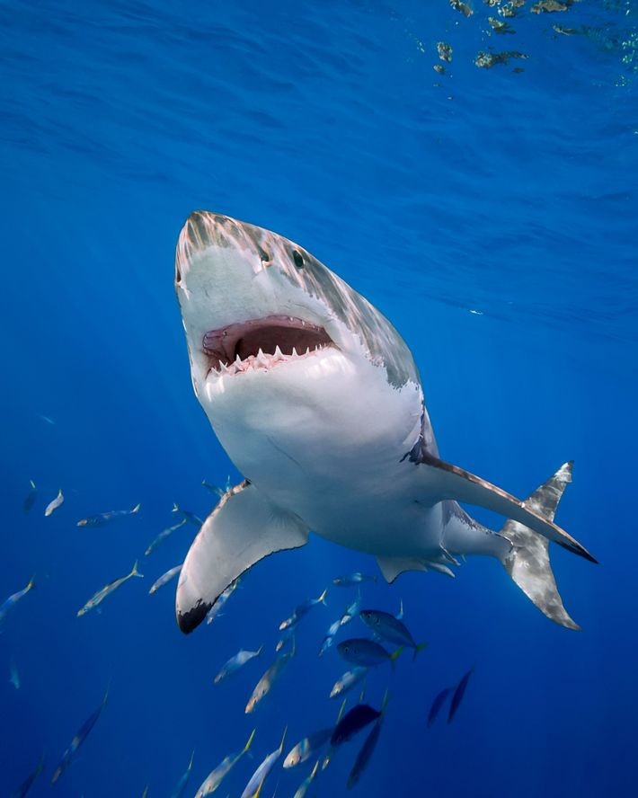 A great white shark (Carcharodon carcharius) off the coast of Mexico. The shark has been the target ...