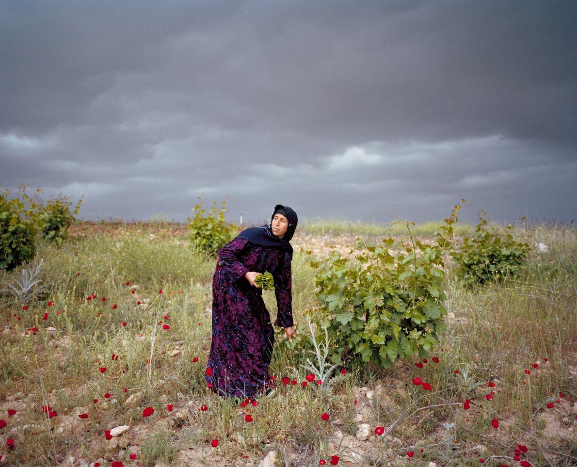 Leyla Sonkus picks grape leaves on the Plain of Harran in southern Turkey, not far from ...