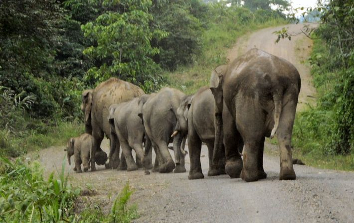 Elephants repeatedly destroyed a replacement metal bridge in the Danum Valley until it was rebuilt in ...