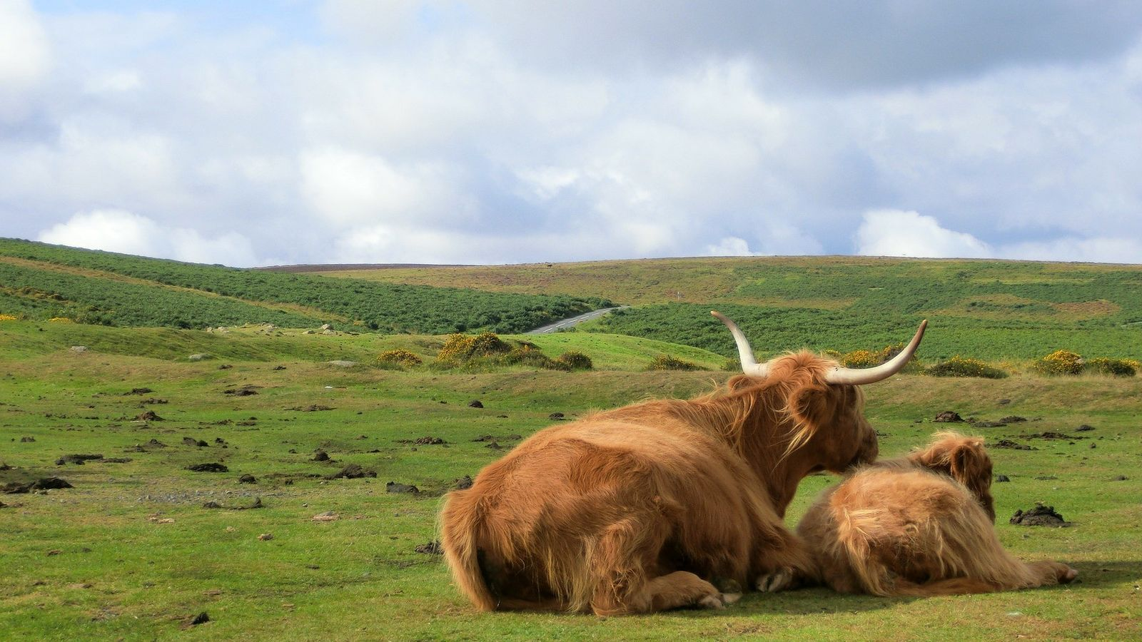 You would expect to find Highland cattle in Scotland, so it's a surprise to find them ...