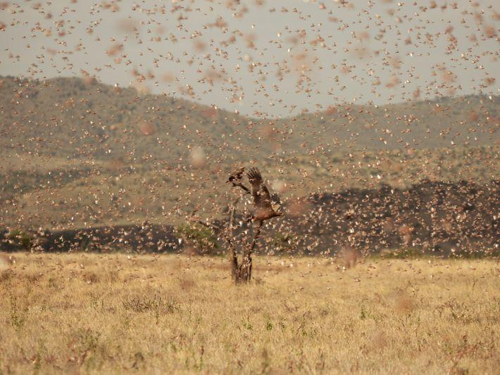 locust-swarm-02