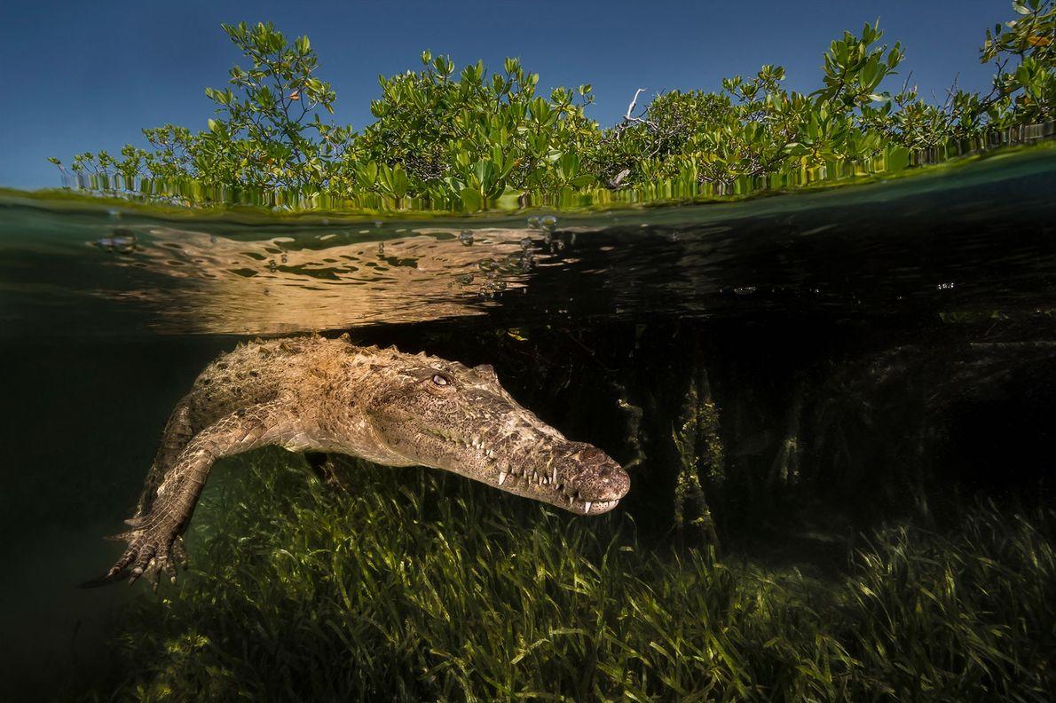 An American crocodile patrols a mangrove channel in Gardens of the Queen National Park, Cuba. Gardens ...
