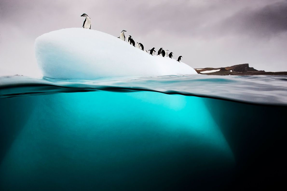 """A group of chinstrap and gentoo penguins rest on a small ice floe called a """"bergy ..."""
