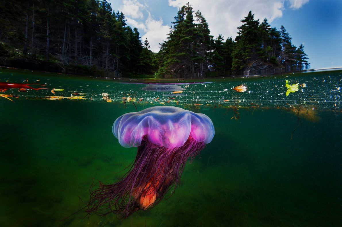 A coniferous forest rises above a lion's mane jellyfish as it hunts in a shallow bay ...
