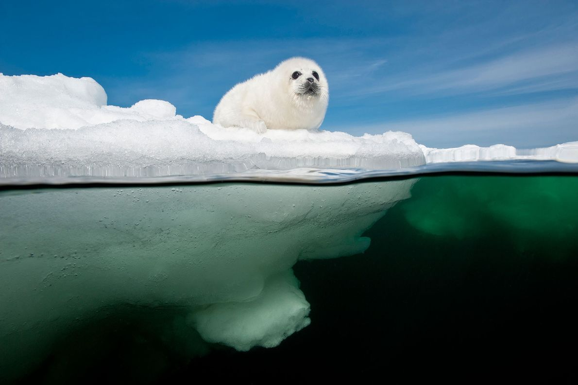 A harp seal pup waits for its mother to return to the sea ice covering the ...