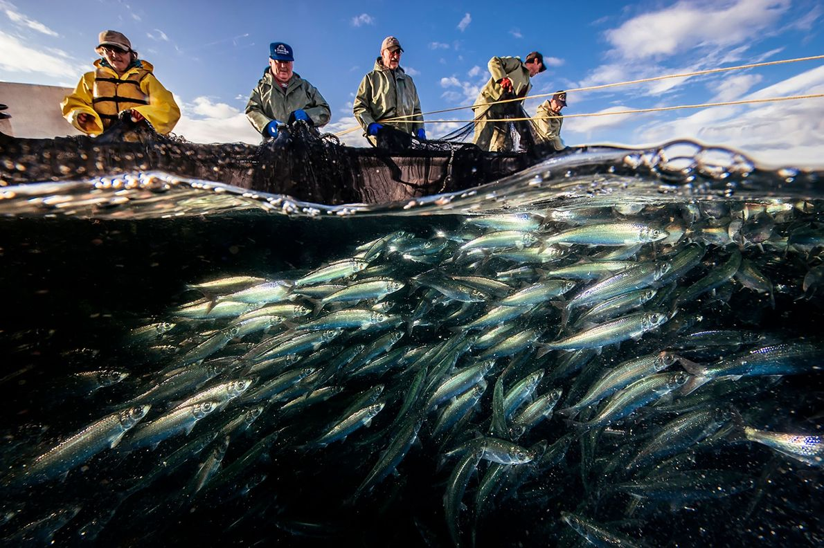 A team of fishermen work together to haul in a trap filled with herring in Canada's ...