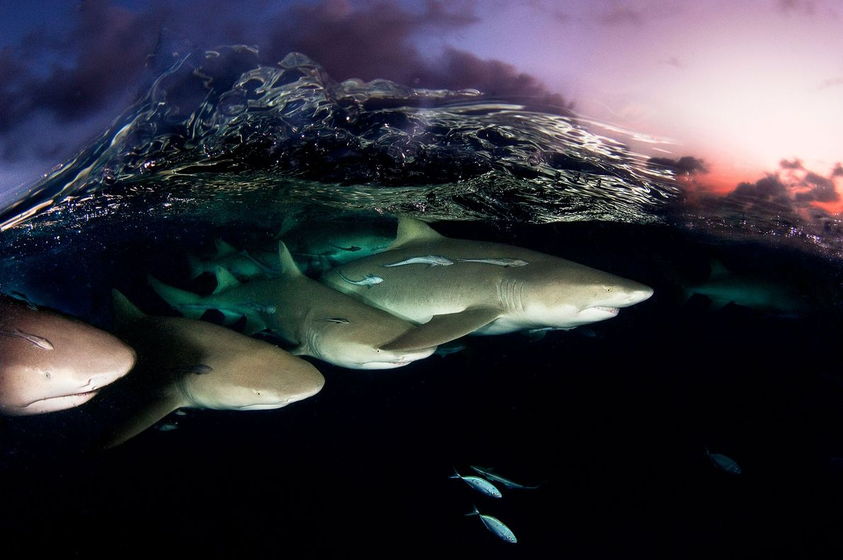 A crystalline wave breaks over a squadron of lemon sharks at dusk in the Bahamas. The ...