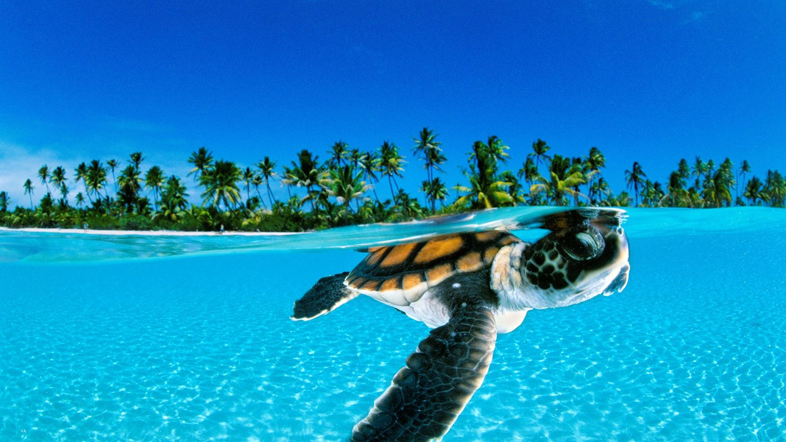 A green sea turtle hatchling swims towards the safety of the open sea off Nengo Nengo, ...