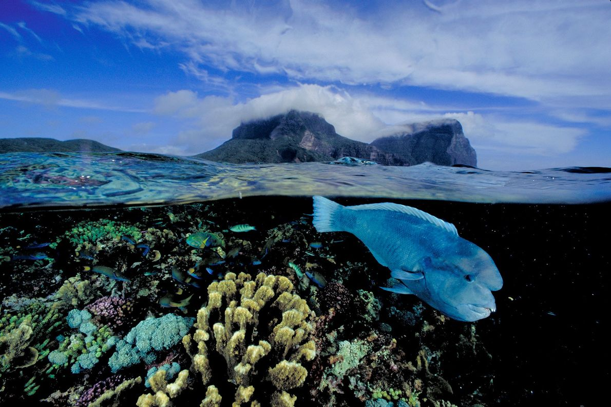 Eroded volcanic peaks soar above an endemic double-headed wrasse swimming across the world's southernmost coral reef ...