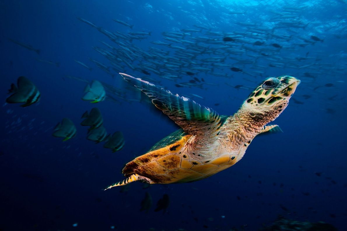A hawksbill sea turtle glides with schools of batfish and barracuda in Kimbe Bay, Papua New ...