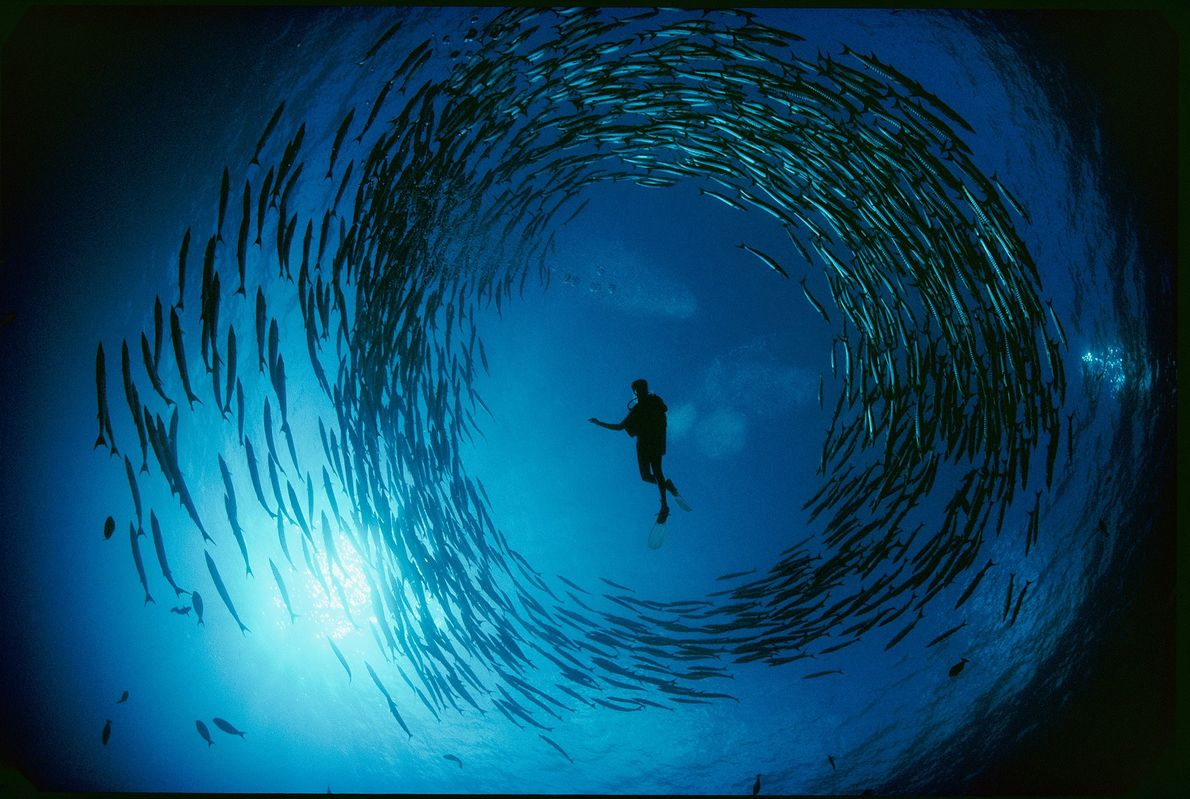 Chevron barracuda form a nearly perfect circle around a diver in a rare moment in the ...