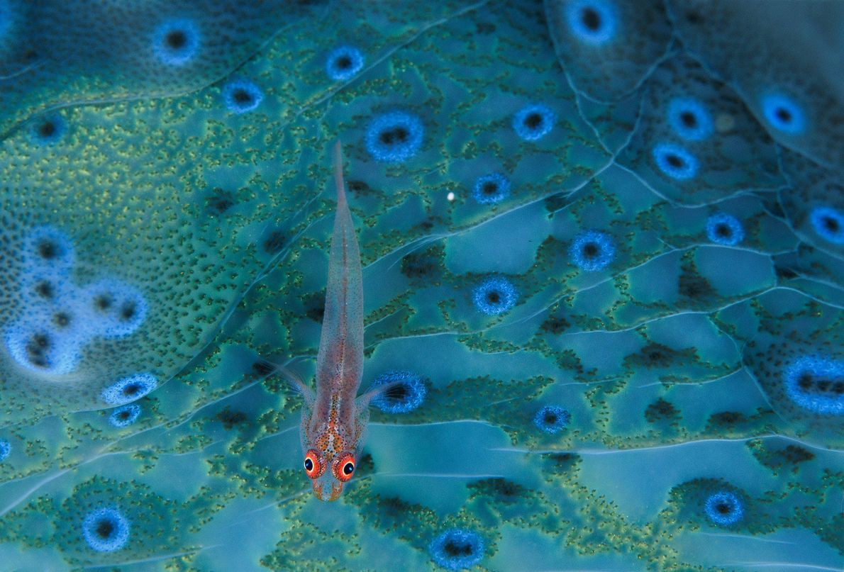 A goby searches for bits of detritus on the colorful mantle tissue of a giant clam ...