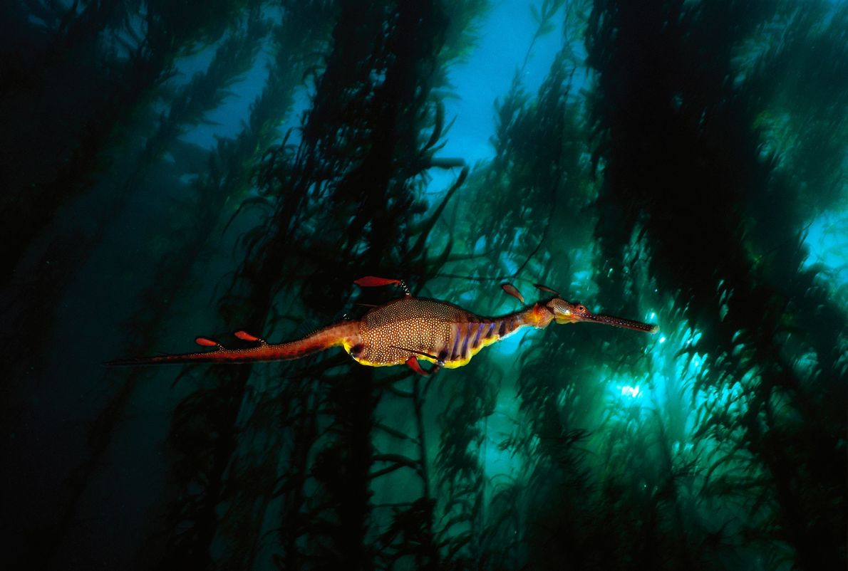 A weedy sea dragon glides through a kelp forest in Tasmania's temperate waters. These mystical-looking, flamboyant ...