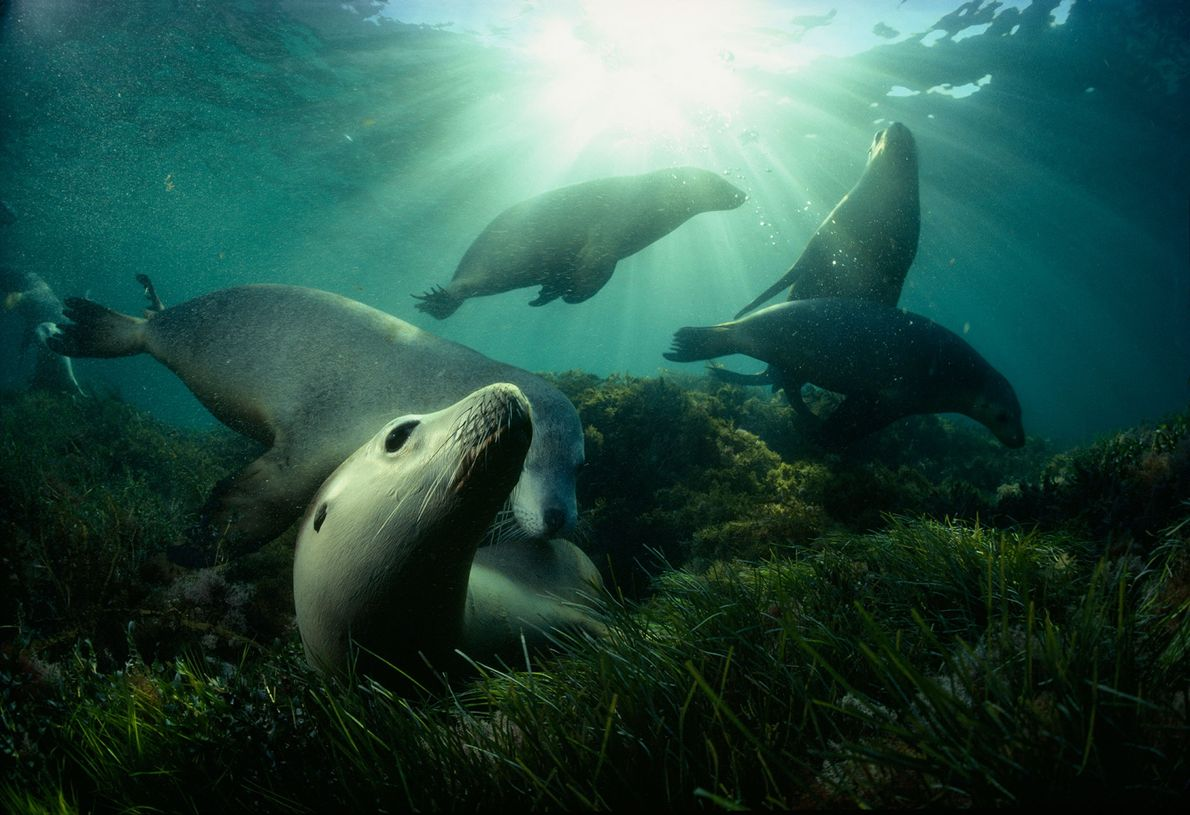 A group of Australian sea lions play in a bed of sea grass near Hopkins Islands ...