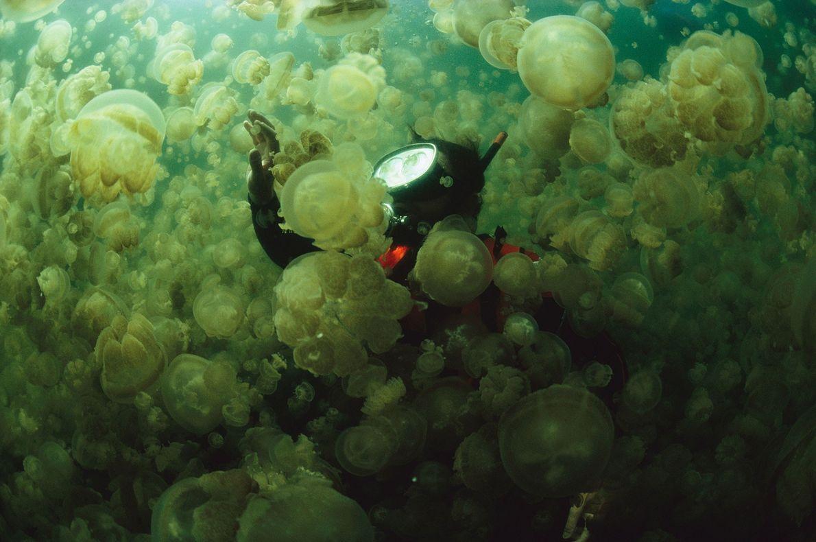 Marine biologist William Hamner rises through a dense cloud of non-stinging Mastigias jellyfish in Palau, Micronesia. ...
