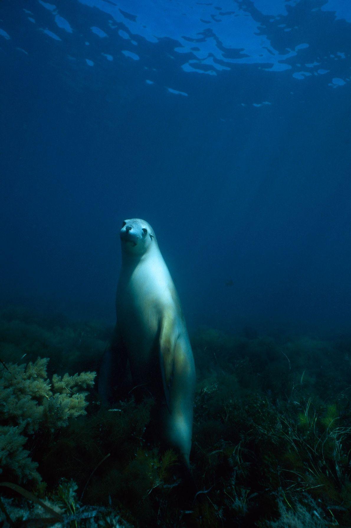 A female Australian sea lion peers through the sea near Hopkins Island in Spencer Gulf, South ...