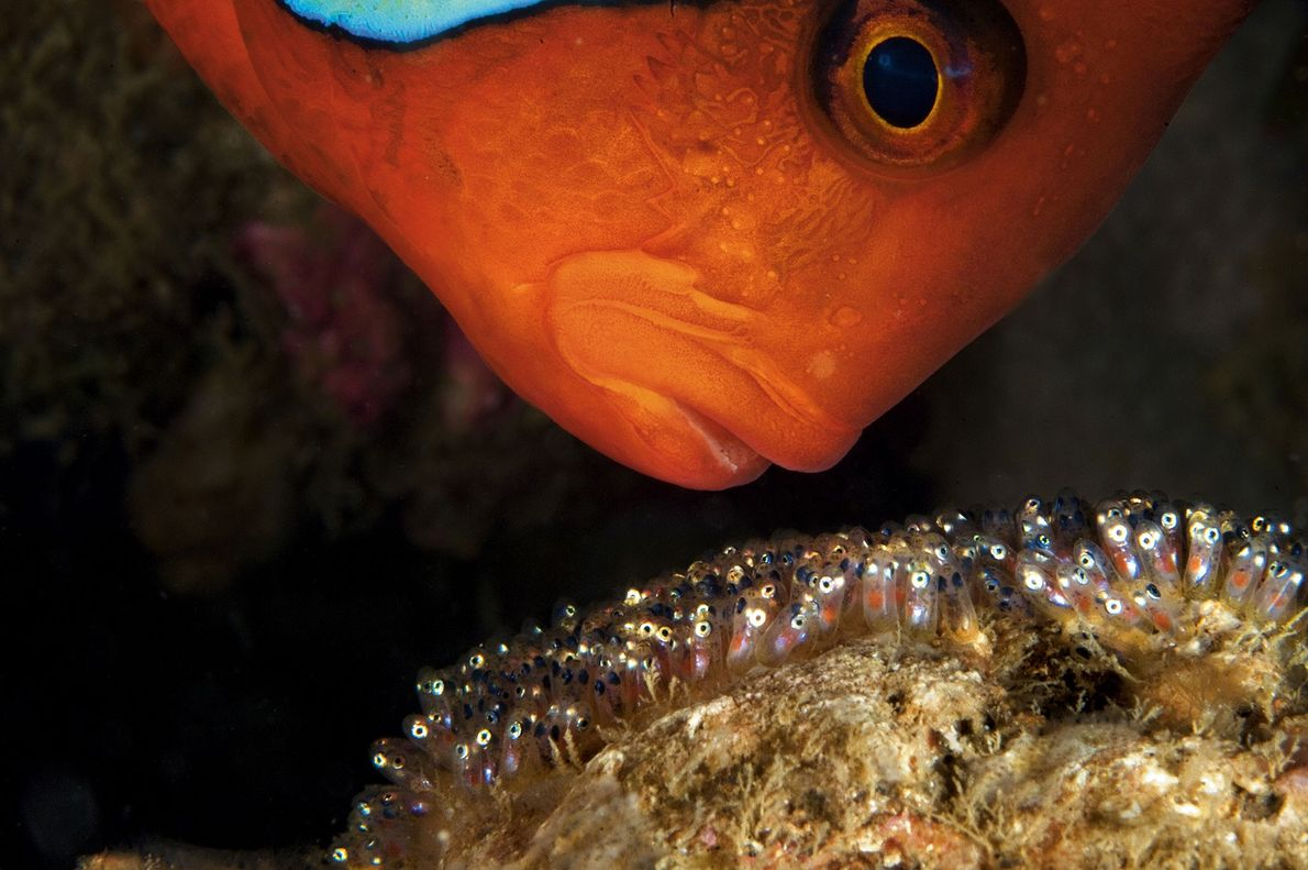 A male anemonefish aggressively guards his clutch of eggs in Anilao, Philippines. The males will aerate ...