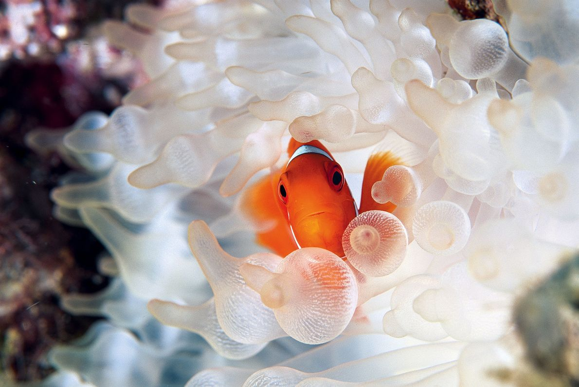 A spine cheek anemonefish peers out of the protective cover of its host in Kimbe Bay, ...