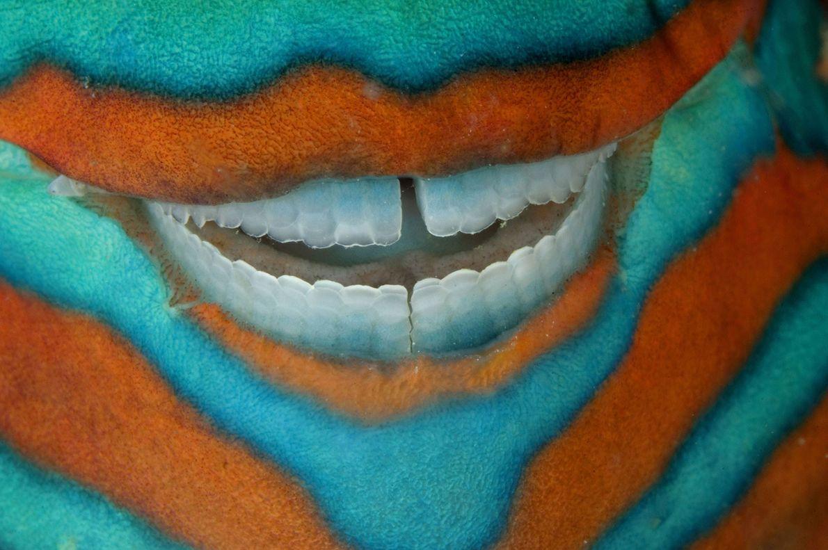 A bridled parrotfish displays near perfect teeth as it sleeps beneath a coral ledge near Heron ...
