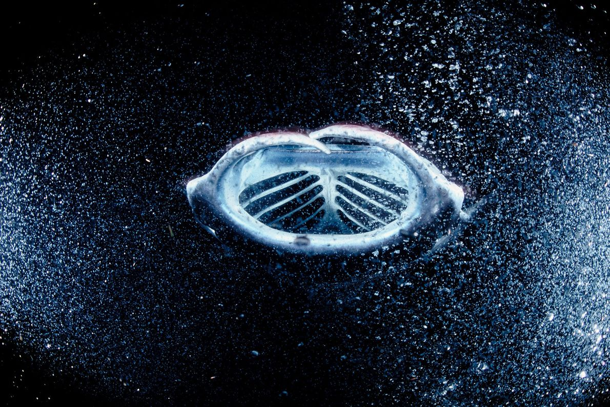 A manta ray feeds on a galaxy of plankton attracted to underwater lights off the coast ...