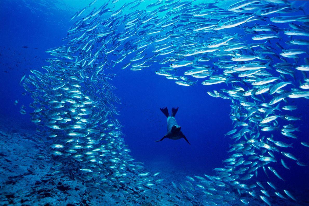 A starving juvenile Galapagos sea lion swims through a school of salema at Cousins Rock, Galapagos ...