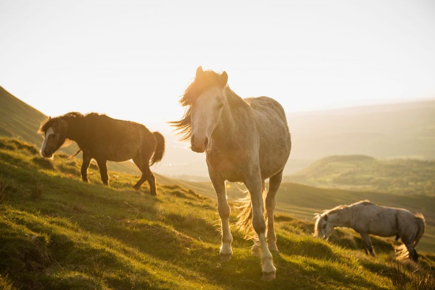 Feral ponies – such as these near Hay Bluff in the Black Mountains, Brecon Beacons National ...