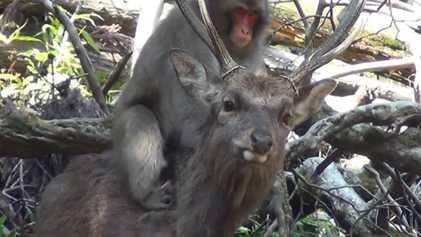 Female Monkeys Seen Having 'Sexual Interactions' With Deer