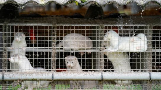 Denmark plans to cull all 15 million mink farmed in the country to help protect people ...