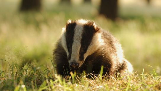 A badger foraging in Derbyshire. Badgers were first protected in 1973 to outlaw illegal hunting methods, such ...