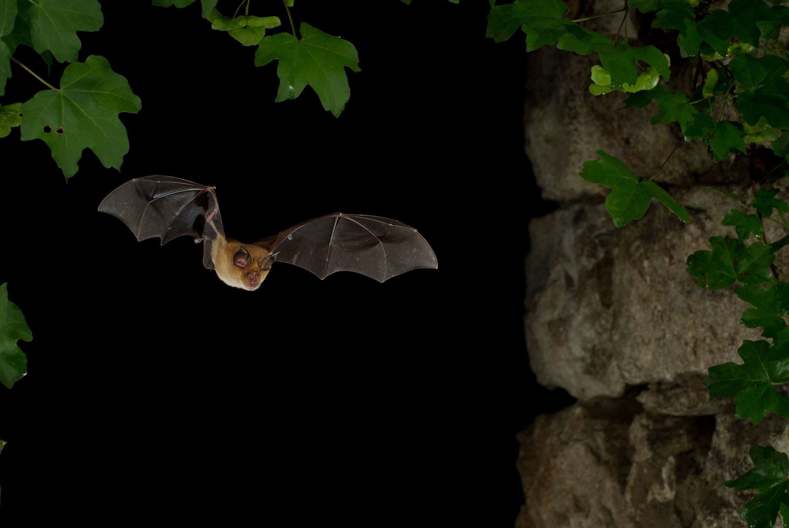 Mediterranean Horseshoe Bat (Rhinolophus Euryale) in flight, North Bulgaria. Bats are so associated with this area ...