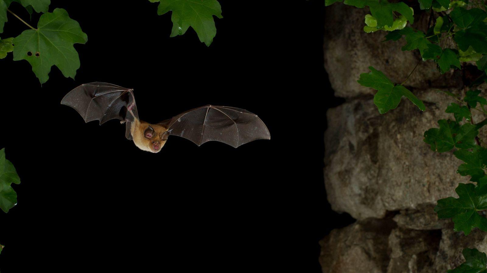 Mediterranean Horseshoe Bat (Rhinolophus Euryale) in flight, North Bulgaria. Bats are so associated with this area ...