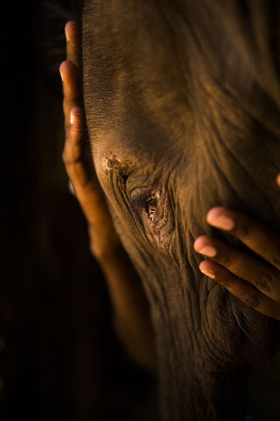 A portrait of Suyian, the first rescued elephant brought to the new Reteti facility