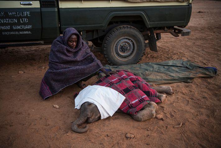 Joseph Lolngojine, a Samburu warrior turned elephant caretaker, watches over Kinya. Moments after this photo was ...