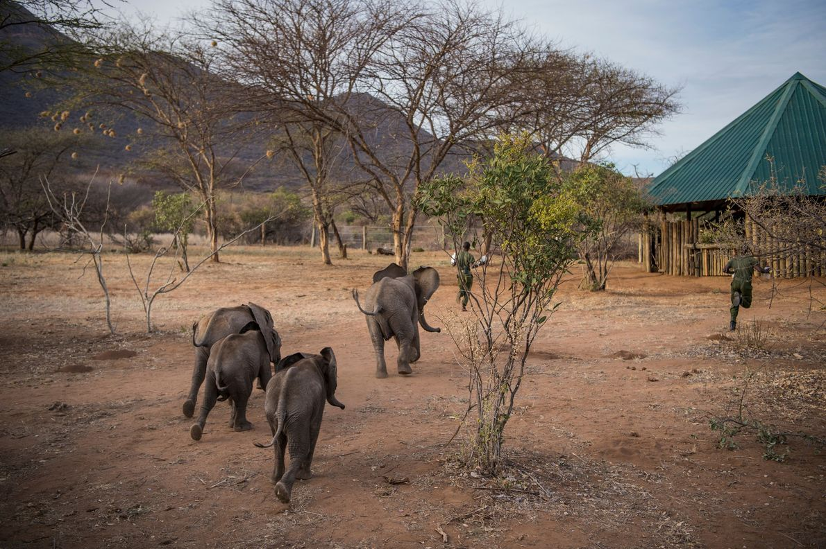 Finders keepers is all in a day's play. In addition to being highly intelligent, elephants are ...