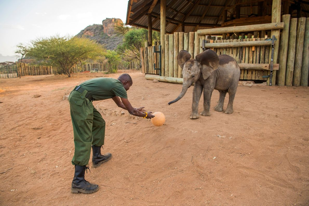 Lemojong plays ball with Pokot, a seven-month-old male who arrived in November, in front of the ...