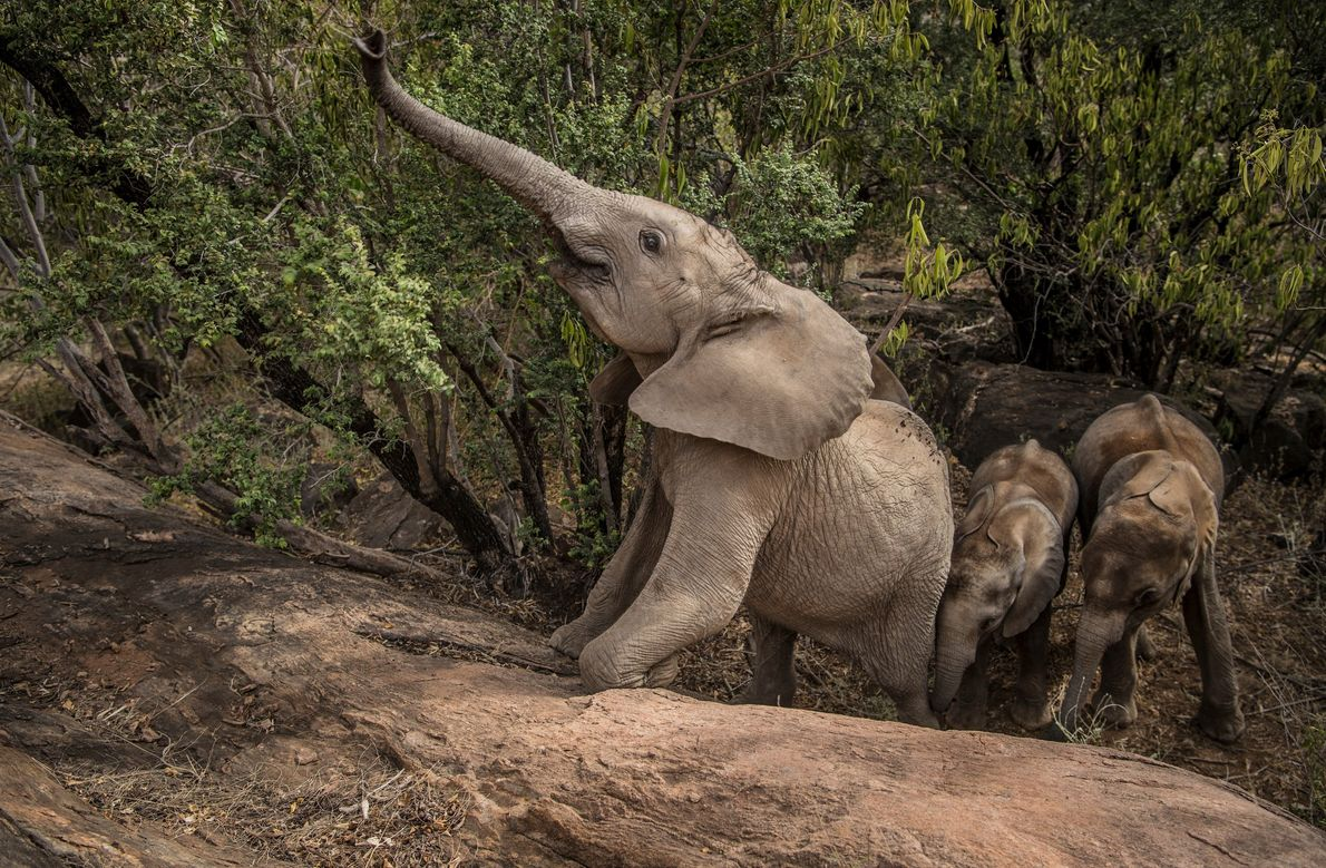 Shaba, now nearly two years old, is the proxy matriarch of the younger Reteti orphans, teaching ...