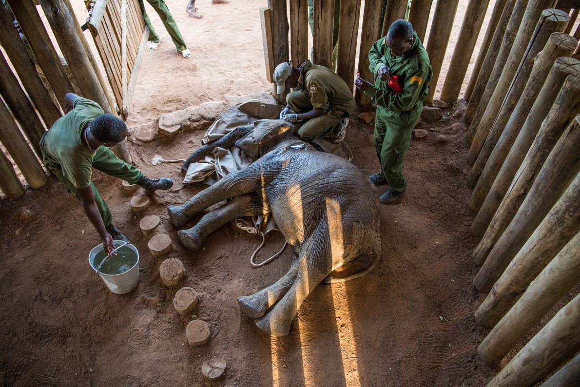 Mathew Mutinda, a vet with the Kenya Wildlife Service, crouches over 18-month-old Mugie, still sedated after ...