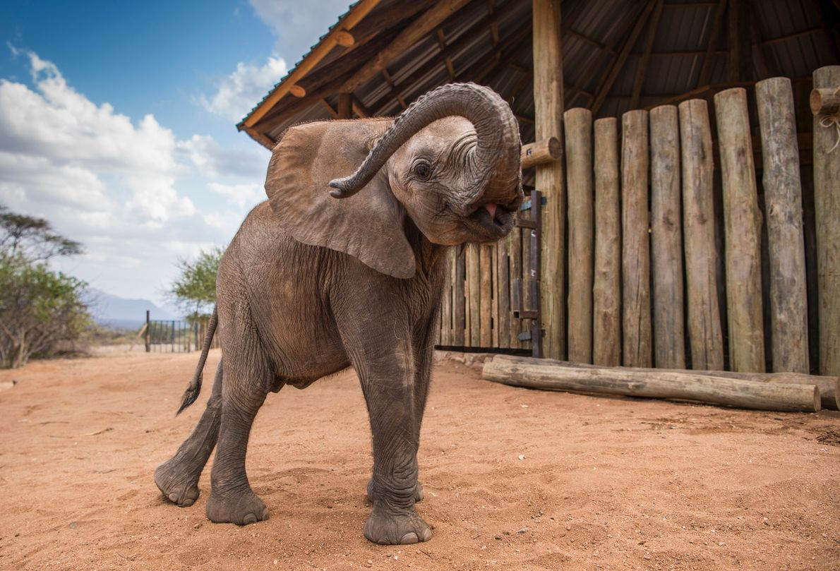 Pokot fools around outside the enclosures. With care and luck, in a few years he'll be ...