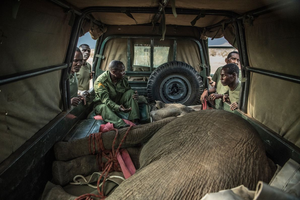 A sedated 15-month-old Sosian is loaded into a specially adapted vehicle for transport to the sanctuary. ...