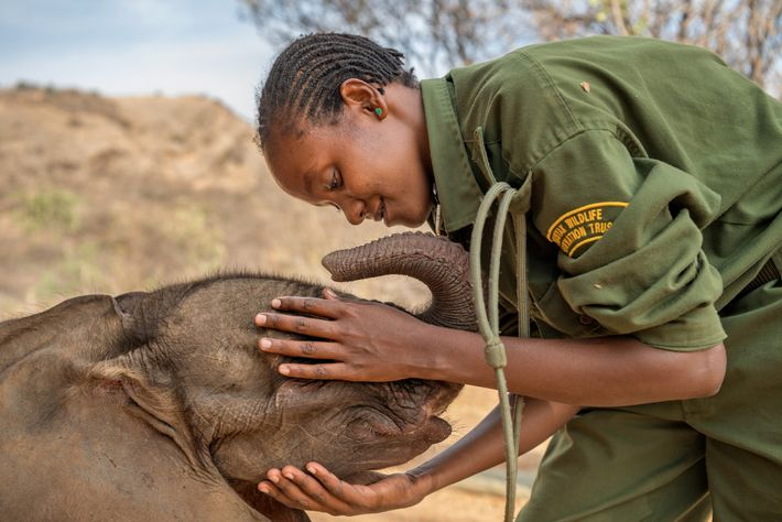 Mary Lengees, one of Reteti's first female elephant keepers caresses Suyian, the first resident. Suyian was ...