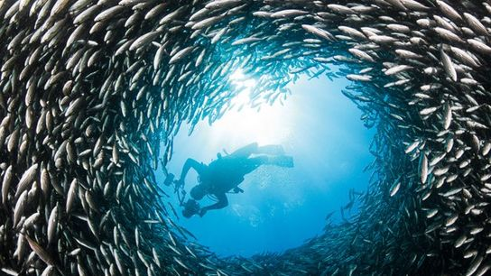 Schooling black-striped salema circle around diver.