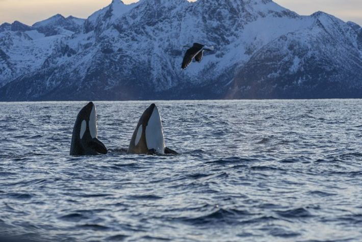 Two killer whales surfacing with a seabird flying over, Andfjorden, Norway. Image: Getty