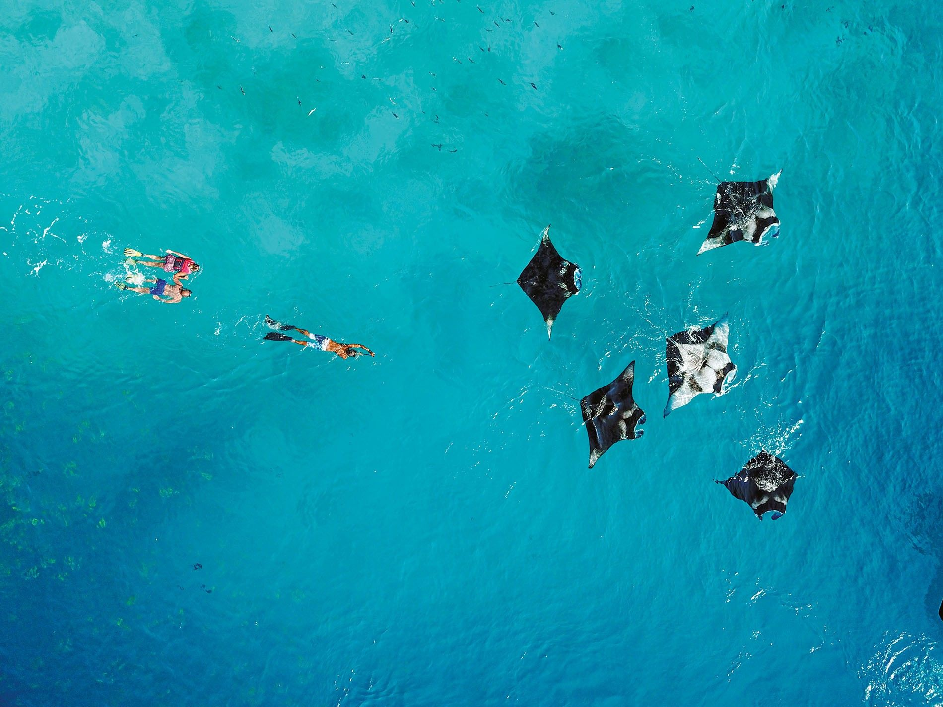 The Maldives is home to one of the largest known populations of reef mantas in the ...