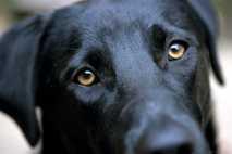 A black Labrador retriever raises its eyebrows as it meets the photographer's gaze.