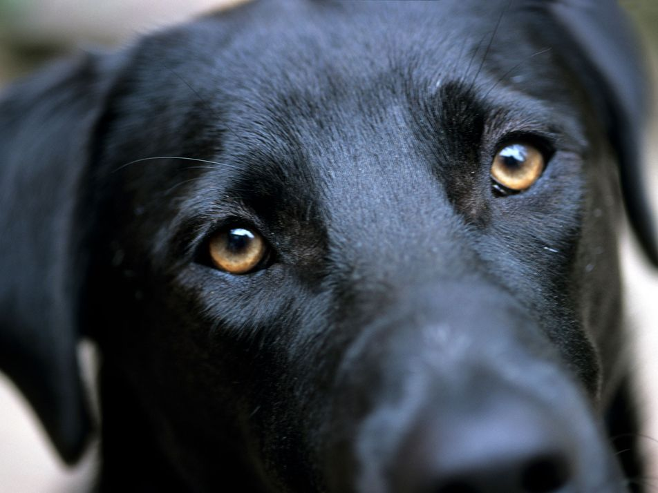 'Puppy dog eyes' evolved so dogs could communicate with their human companions